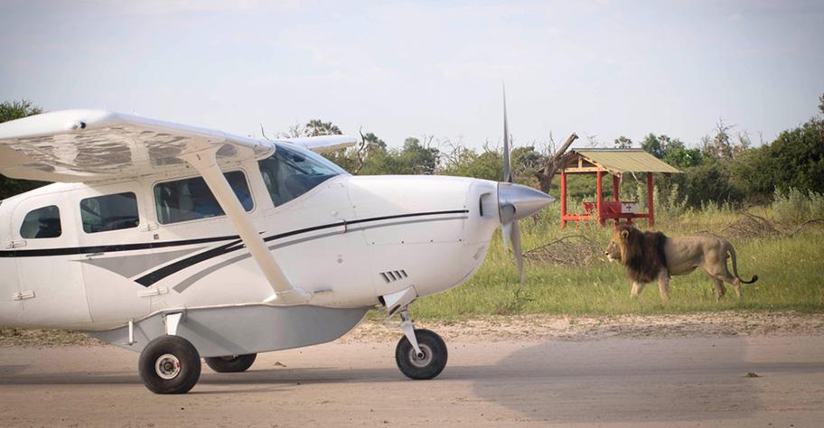 Botswana Flugsafari ein Löwe begrüsst ein Flugzeug