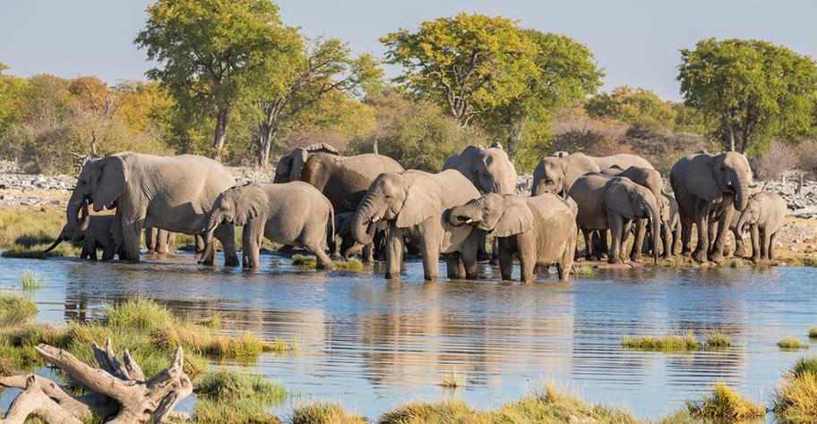 Etosha Wasserloch Elefanten trinken genüsslich