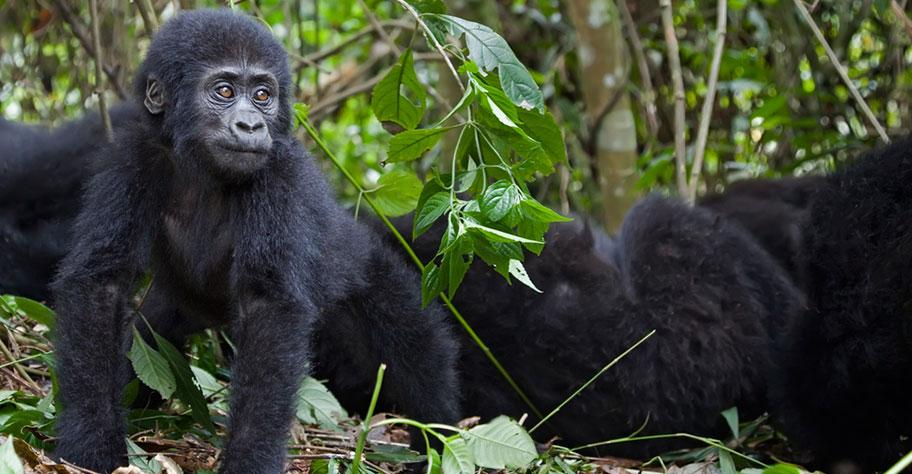 Gorilla Safaris in Uganda junges Tier