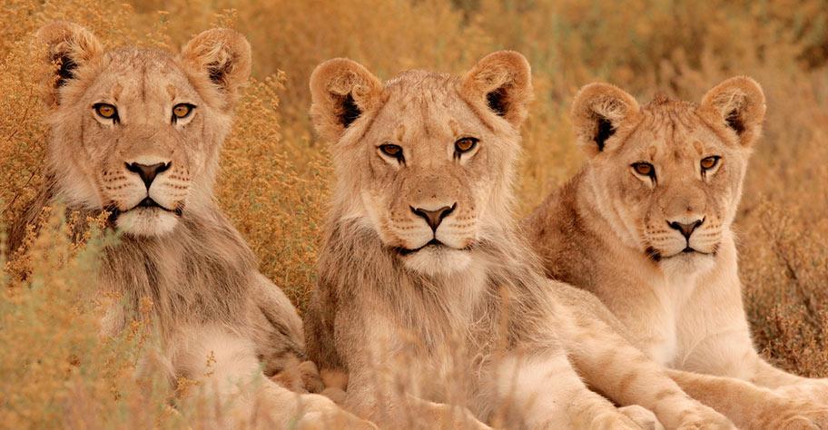 Löwen in der Kalahari Wüste nicht privatesafari