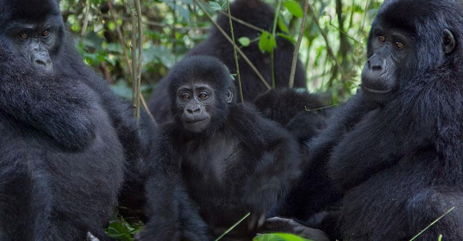 Ruanda Gorilla Safari Gruppe in Bäumen