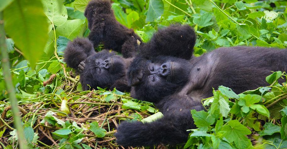 Gorilla Safari Ruanda: Schlafende Affenfamilie