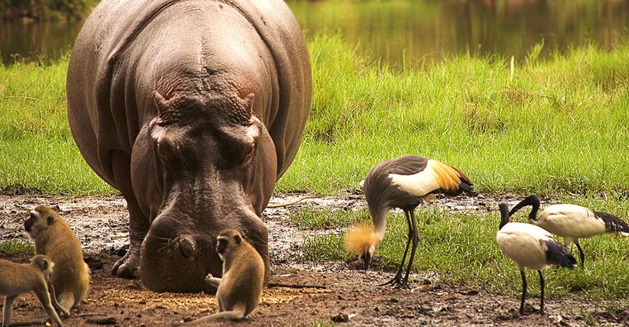 Tanzania Safari Flusspferd mit Affen