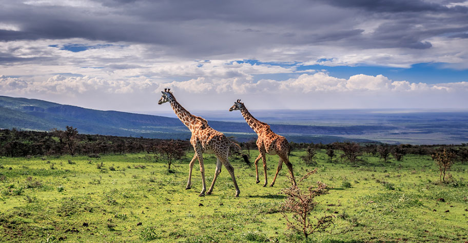 Tanzania Safari mit Kindern Giraffen Big Five