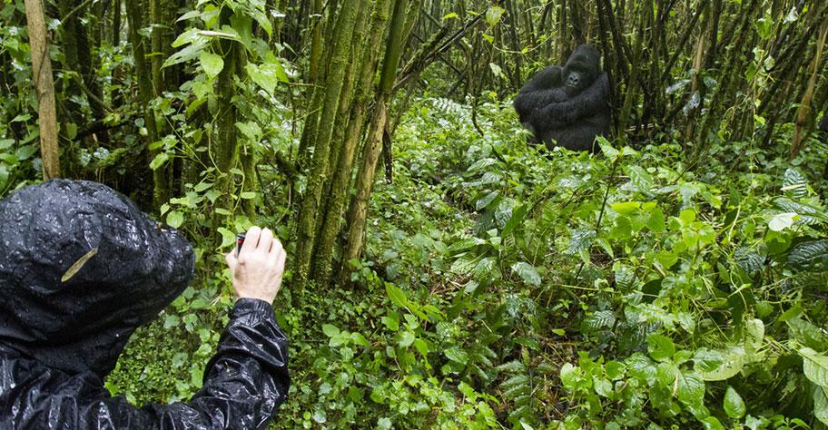 Tourist filmt Gorilla in Ruanada