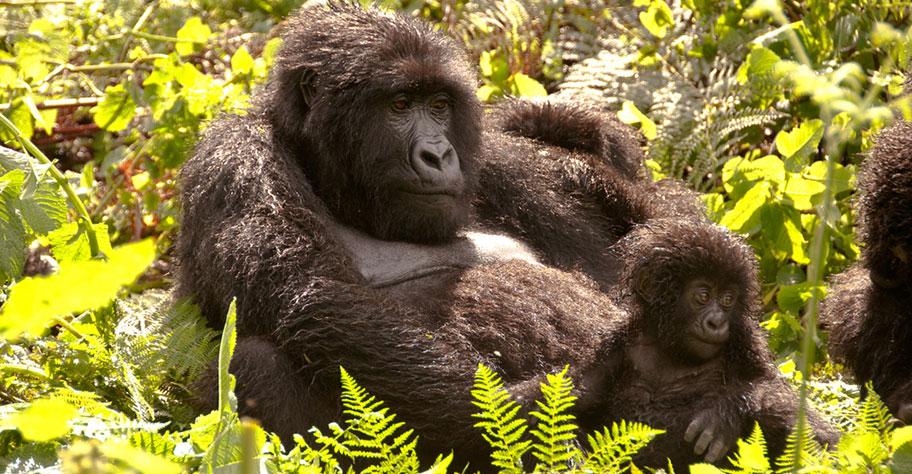 Uganda Gorilla Familie auf Safari beobachten