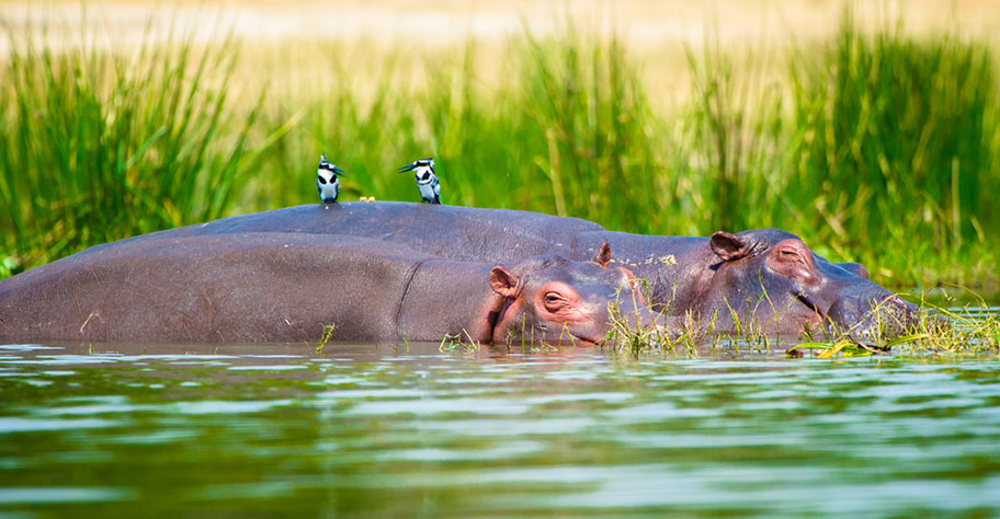 Uganda Safari Flusspferde mit Vögel auf dem Rücken