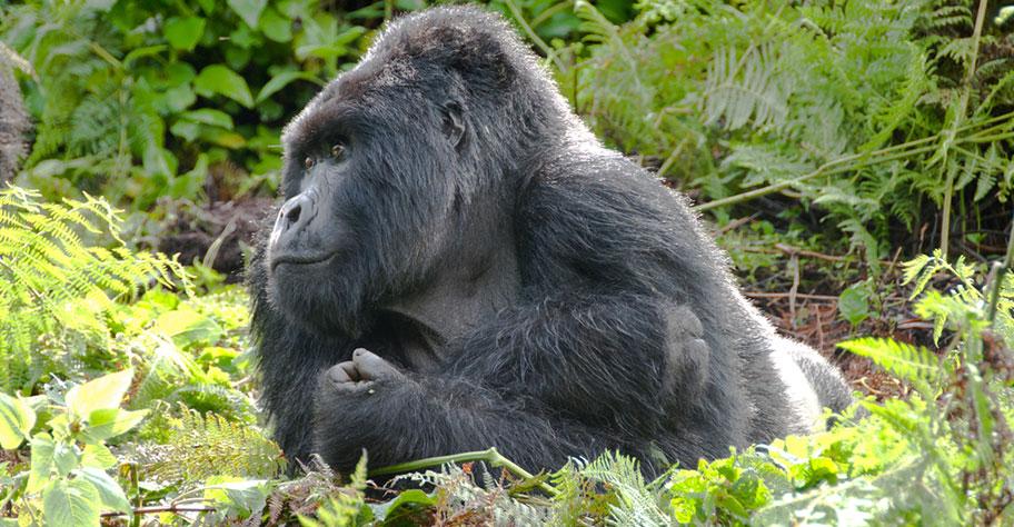 Uganda Safaris zu den Silberrücken Gorillas