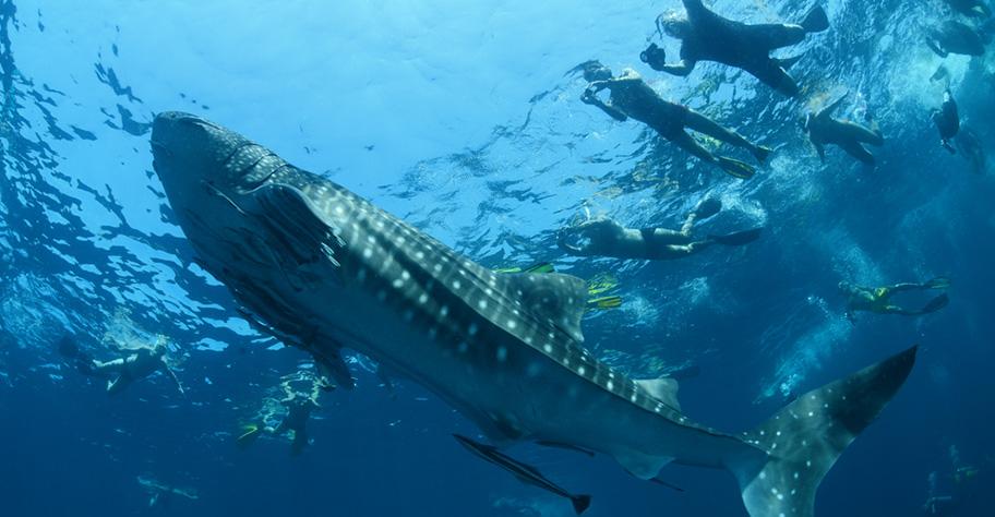 Walhai kenya badeferien schnorcheln tauchen