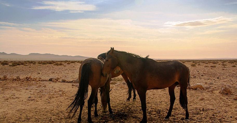 Wilde Pferde in Namibia nicht african tours