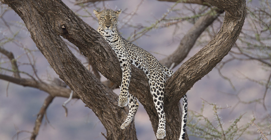 Zambia Leopard auf Baum Safari günstig nicht Kuoni