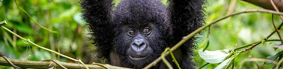 Ruanad Gorilla Safaris